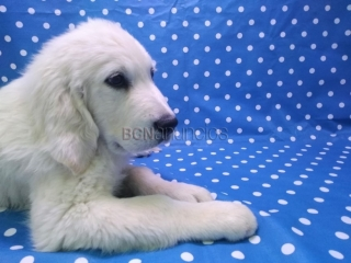 Cachorro Golden Retriever Aquanatura