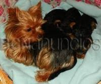 cachorros de yorkshire mini toy