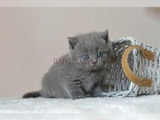 British shorthair Gatitos