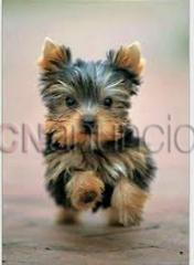 Regalo cachorros yorkshire terrier mini toy, para adopcion