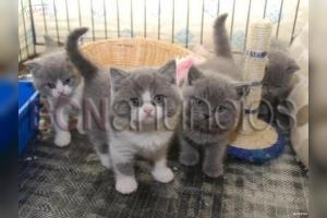 REGALO de british shorthair