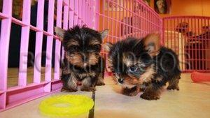 Marvelous Masculino y Femenino Teacup Yorkie Puppies