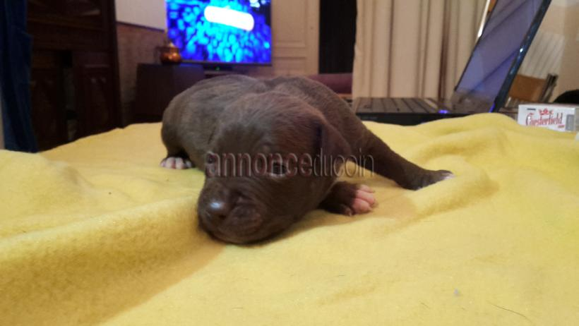A vendre chiots pitbull red nose #1