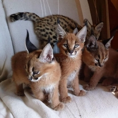 Serval, sabana y caracal gatitos disponibles.