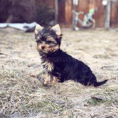 Cachorros toy , de yorkshire terrier