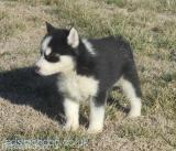 available black and white husky puppies All London