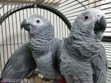 Talking African grey hand reared parrot/s for sale// All London