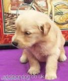 Golden Retriever Puppies for Sale City of London
