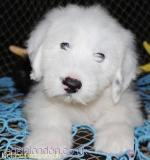 black & white Old English Sheepdog City of London