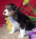Cavalier King Charles Spaniel Puppies for Sale Barking and Dagenham