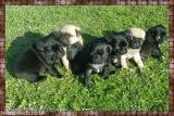 pug puupies,,,,,,pug puupies All London