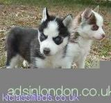 Pedigree Pure Bred Siberian husky puppies now == All London