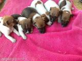 Jack Russell Pups, male and female, wormed, vet checked All London