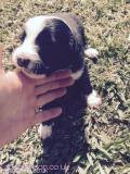 Border collie pups All London