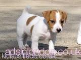 Jack Russell Terrier Charming Jack Russel puppies for sale Hackney