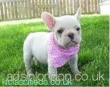 frhyu Adorable French Bulldogs fhd Harrow