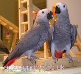 wrvgdgf Pair of Talking African Grey Parrots All London