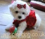 dstyyyd Maltese Puppies Available tjtju Ealing