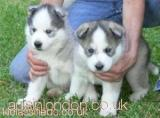Home Trained Siberian Husky Puppies Available Havering