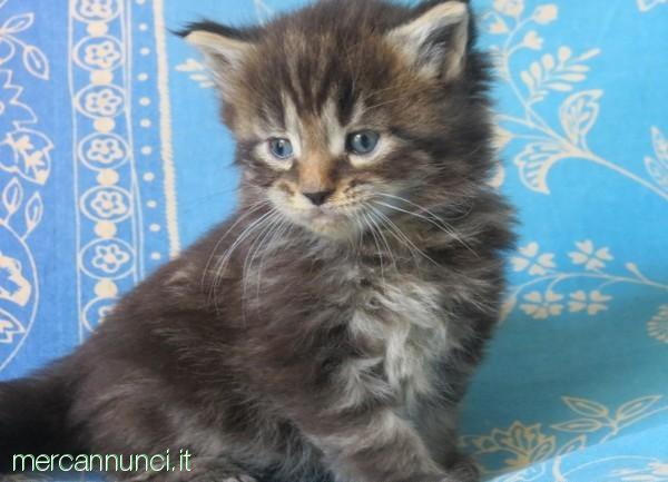 REGALO GATTINE MAINE COON
