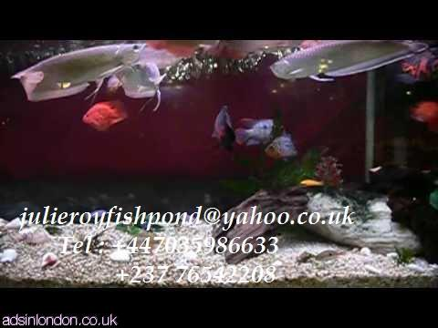 Asian red, RTG, super red, chili red, golden X back arowanas for sale