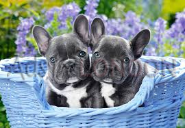 ** Ready To Leave!!**french Bulldog Puppies** #1