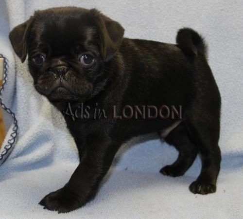 Stunning Example Of Show Quality Pug Puppies #1