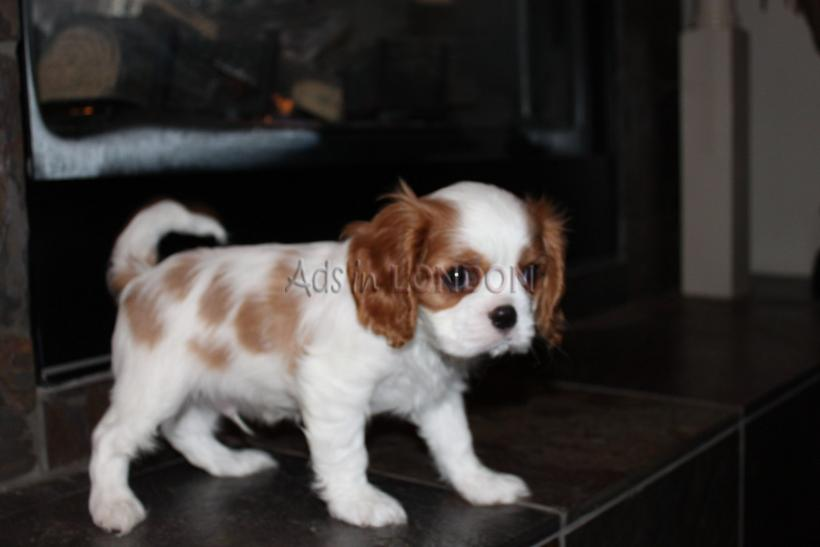 IGAR Beautiful cavalier king charles puppys for sale