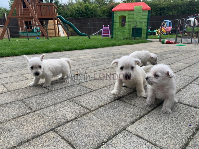 Beautiful Litter Of West Highland Terrier Puppies #1