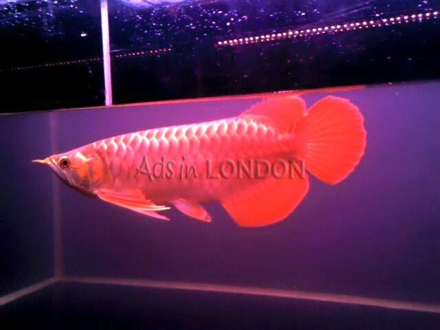 Premium Quality Asian Red , Chili Red , Super Red Arowanas for Sale. #1