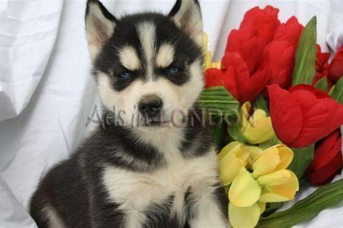 Gorgeous Blue Eyes Siberian Huskies Puppies for Sale #1