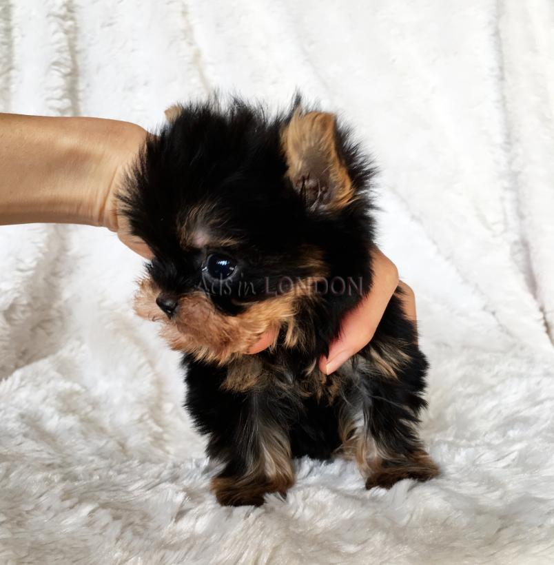Rgue toy yorkshire terrier only five left! bhdxfg #1