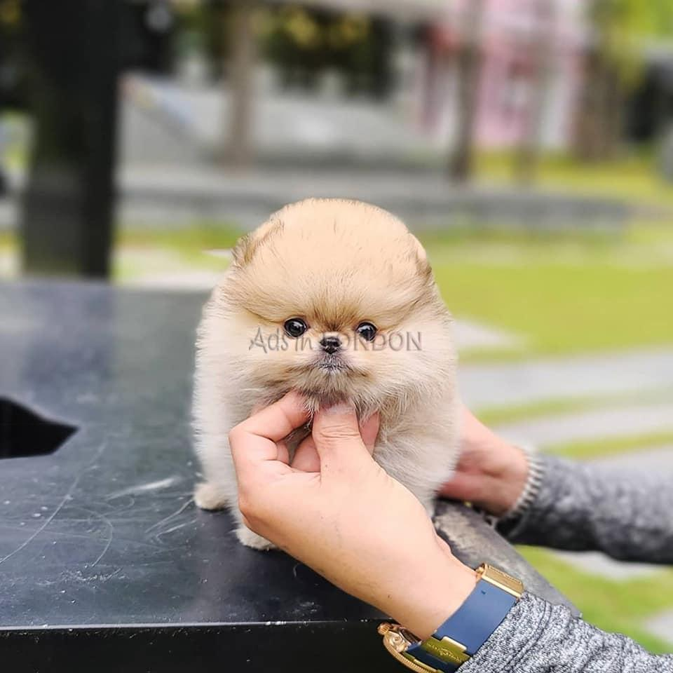 Pomeranian puppies for sale ready now