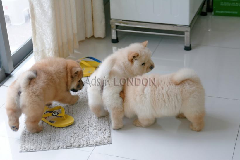 Nis gorgeous kc reg chow chow puppies for sale jirgt