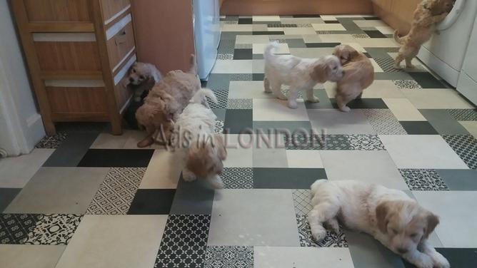 AHEJDE f1 Cockapoo puppies for sale