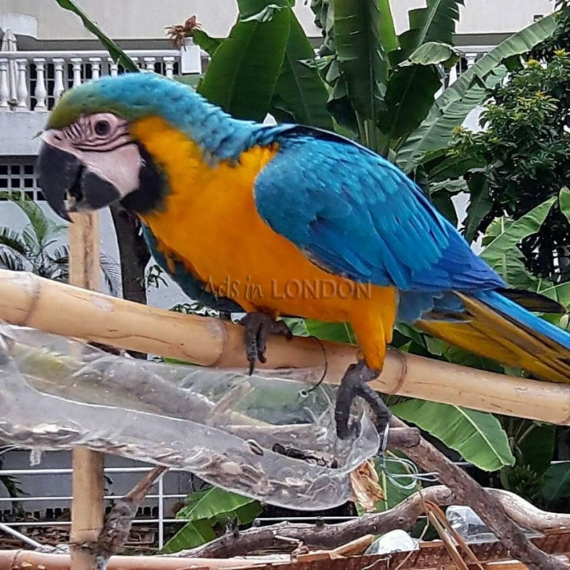 Hand reared baby Blue and Gold Macaws