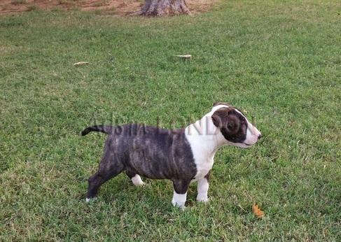 DHADS Staffordshire Bull Terrier Pups
