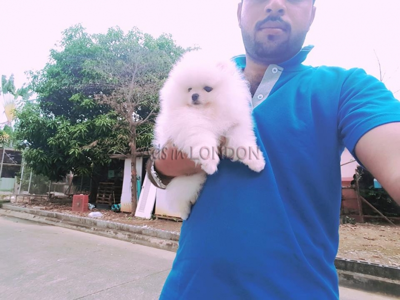 Willing,%100 x %100 Ready,Snow White Mini Pomeranian ice white mini li #1