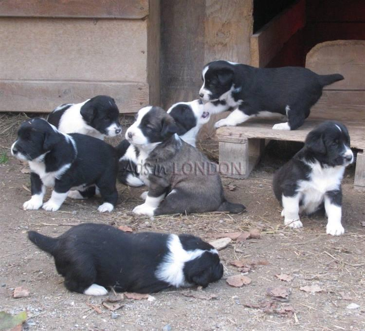 BHREA beautiful border collie puppies