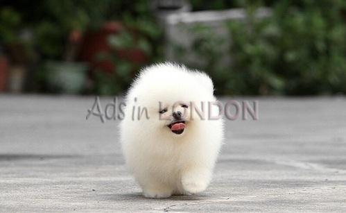Purebred Pomeranian Puppies Available