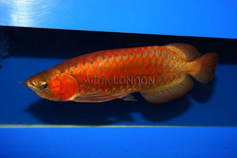 super red arowana fish