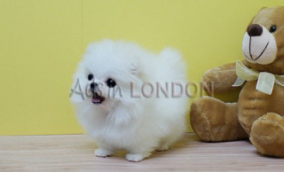 White fluffy teddy bear pomeranian whatsapp