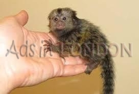 Capuchin And Marmoset Monkeys