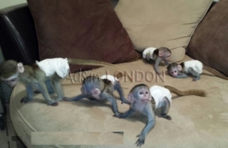 Beautiful Marmoset Monkeys Available –