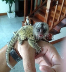 Marmoset Female