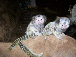 New Marmoset Monkeys $ Capuchin Monkeys