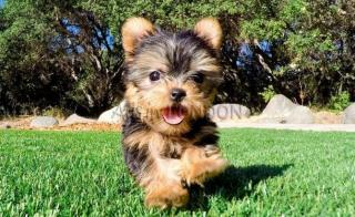 Tiny Yorkshire Terrier Puppies For sale