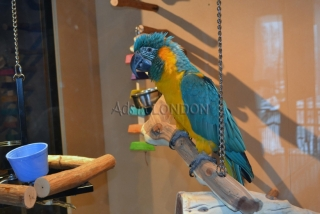baby cuddly blue and gold macaw - super tame