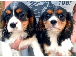 Quality bred Beagle puppies for sale