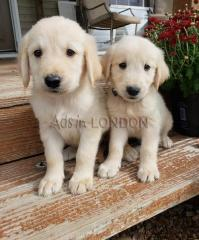 Beautiful Golden Retriever Puppies #1